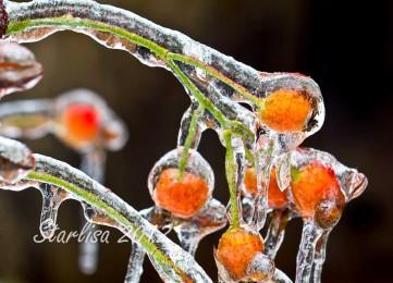 Rosehips on Ice 2