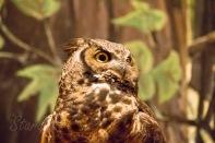 Great Horned Owl_0454-1