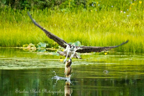 Osprey with Trout at Mirror Lake near Mount Adams, Washington State