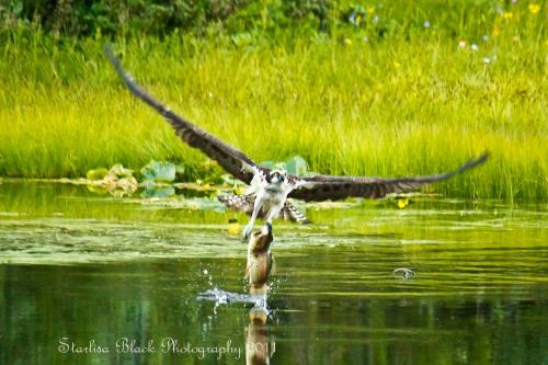 Osprey with Trout at Mirror Lake near Mount Adams, Washington State