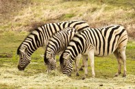 SchreinerFarms_Zebra-wo-8650