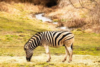 SchreinerFarms_Zebra-wo-8651