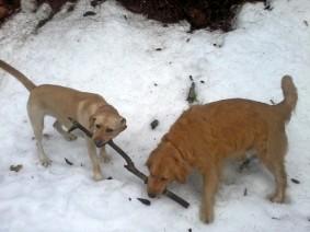 Dogs TugWar
