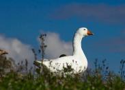 Geese-Stevenson_9231-wo2