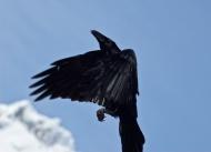 Raven_2865-20100320-wo