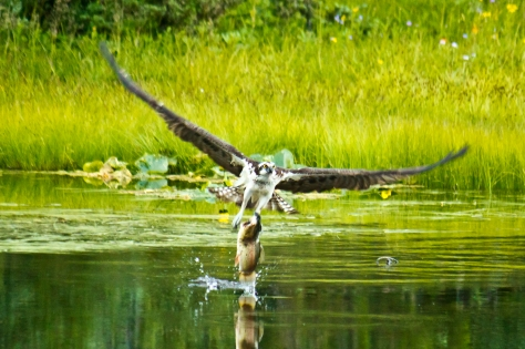 Osprey at Mirror Lake