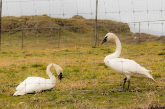 Swans_ScheinerFarms-wo-8626