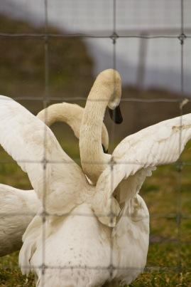 Swans_ScheinerFarms-wo-8636