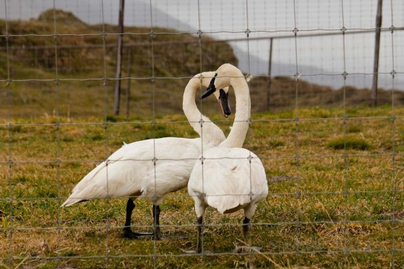 Swans of Schreiner's Farm