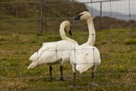 Swans_ScheinerFarms-wo-8639