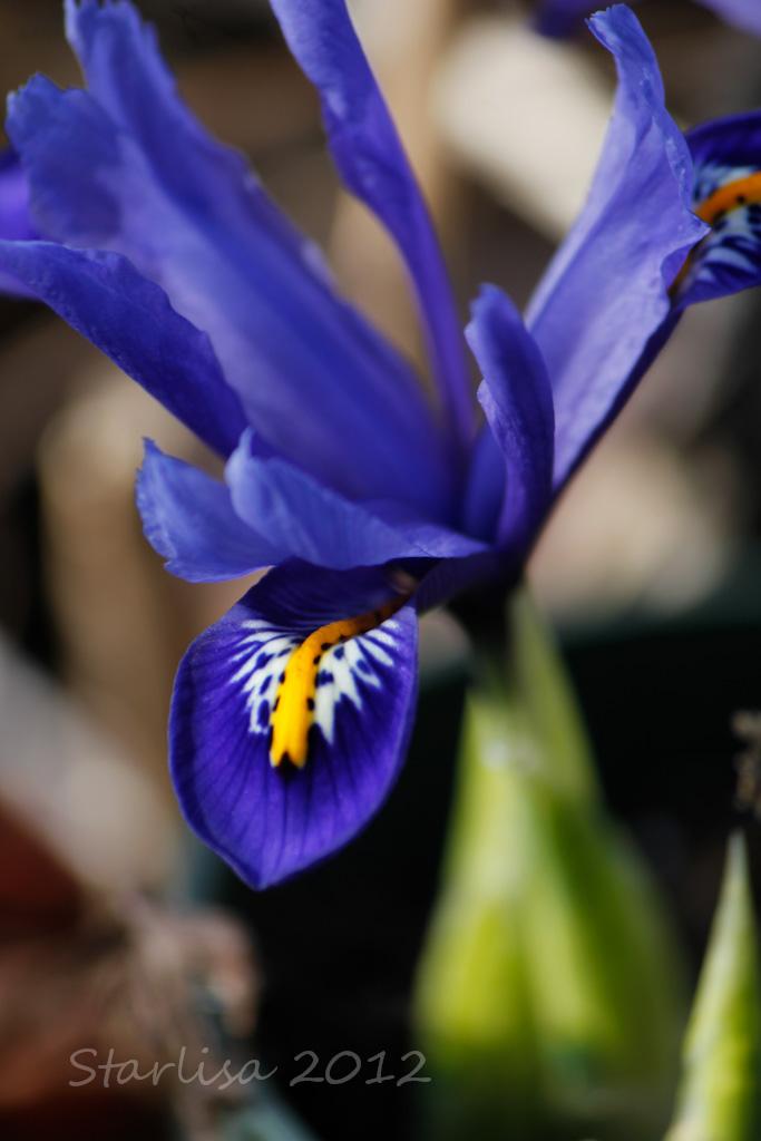 Rock Iris in Spring
