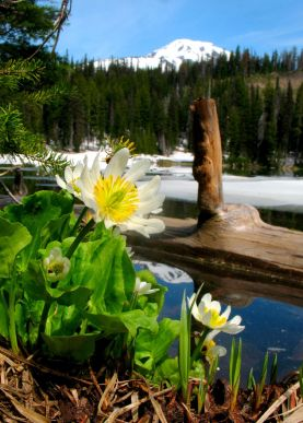 Marsh Marigold at Bird Lake