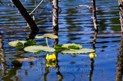 Mirror Lake Water Lilies