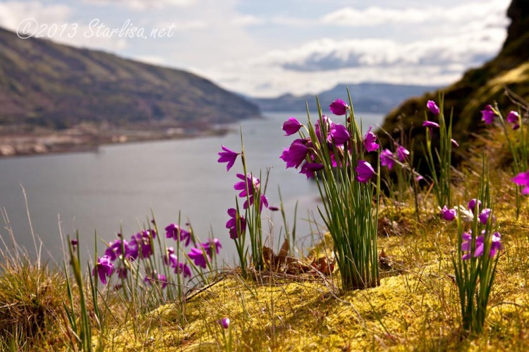 Grass Widows along the bluff above the Columbia River