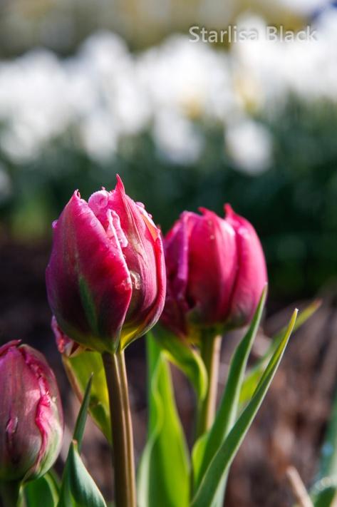 Tulips-8699