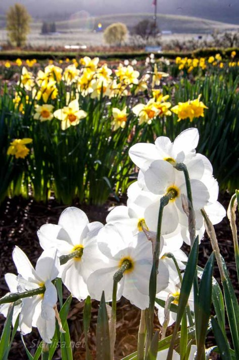 WhiteHouseDaffodils_8682-Edit-1