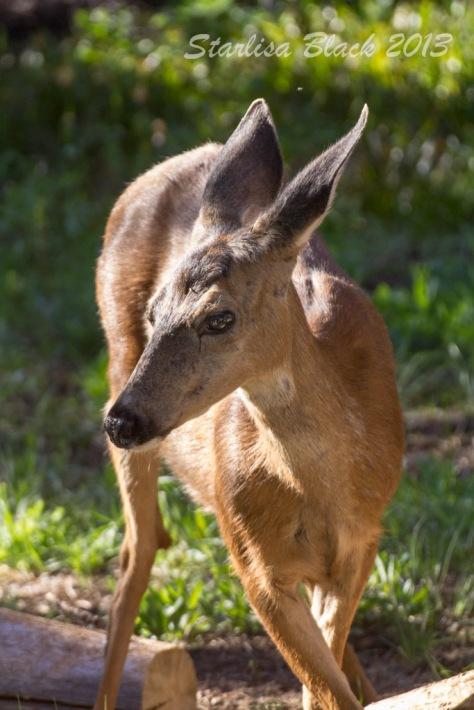 Deer_MirrorLake-3