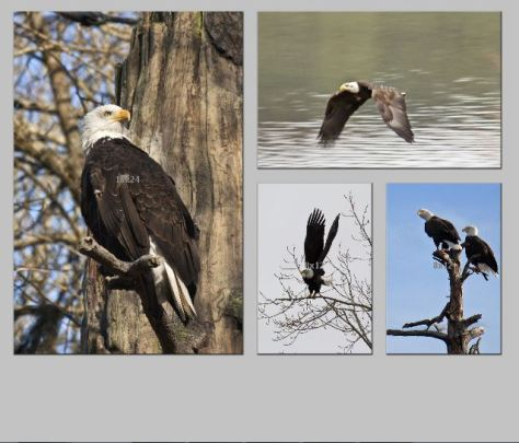 Eagles FormalFourTriptych