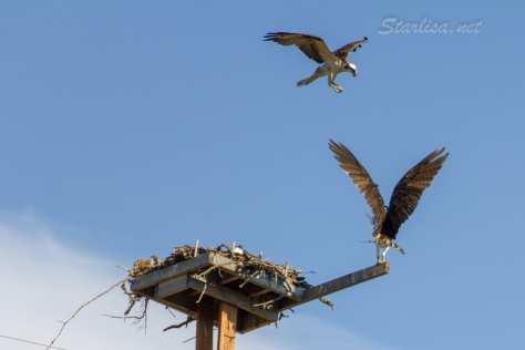 Osprey-with-Nest-8629-1