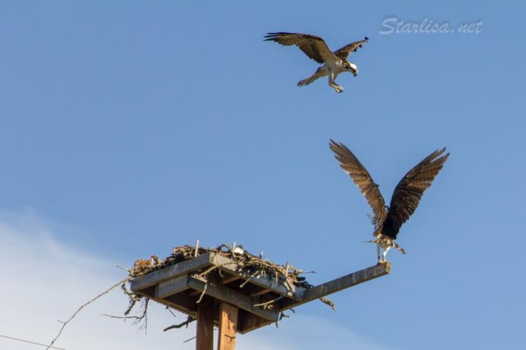Osprey-with-Nest-8629-1