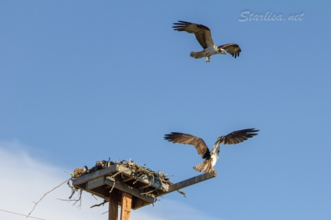 Osprey-with-Nest-8630-2
