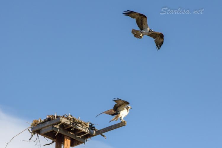 Osprey-with-Nest-8631-3