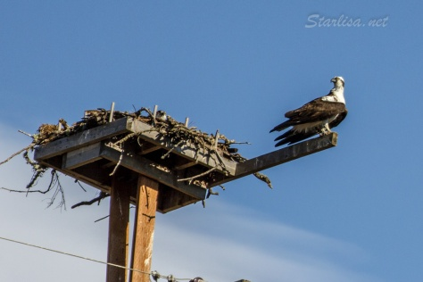 Osprey-with-Nest-8635-4