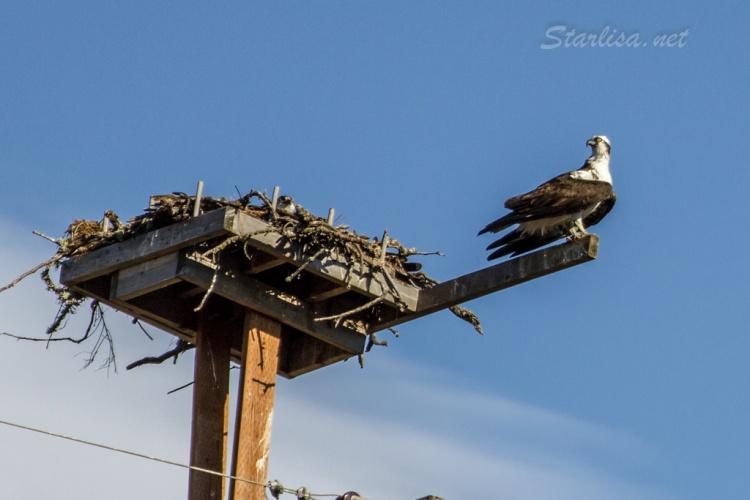 Osprey-with-Nest-8635-4