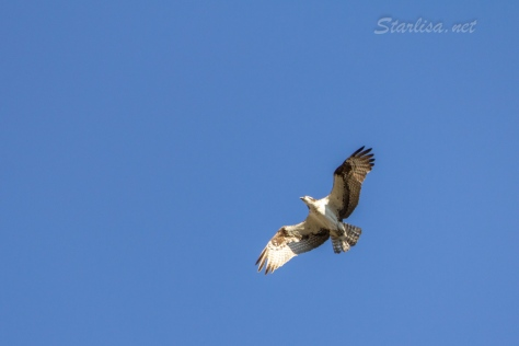 Osprey-with-Nest-8673-5