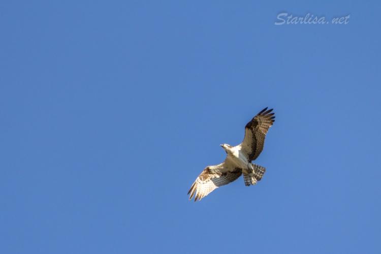 Osprey-with-Nest-8673-5