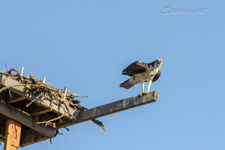 Osprey-with-Nest-8698-6