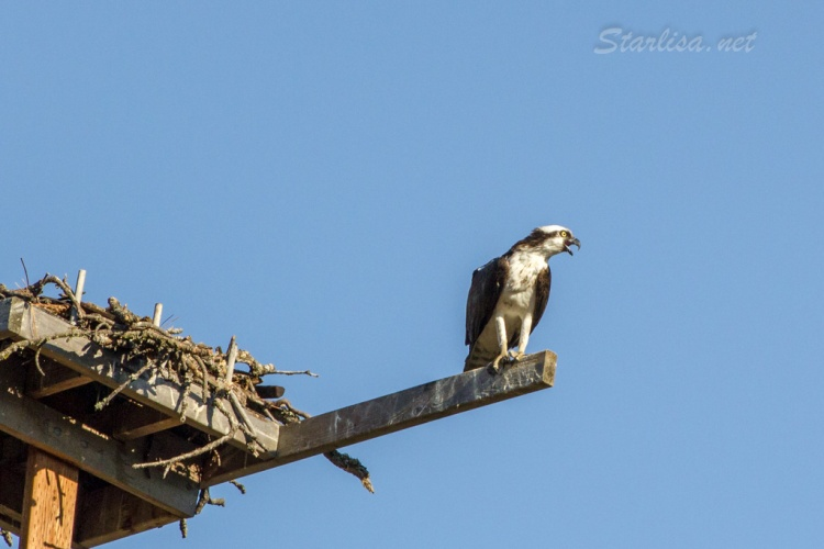 Osprey-with-Nest-8700-7