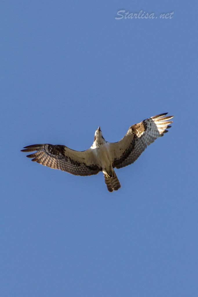 Osprey-with-Nest-8717-8