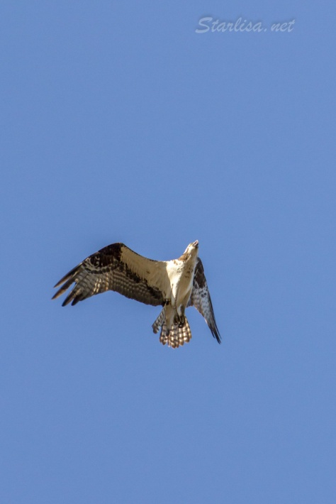 Osprey-with-Nest-8718-9