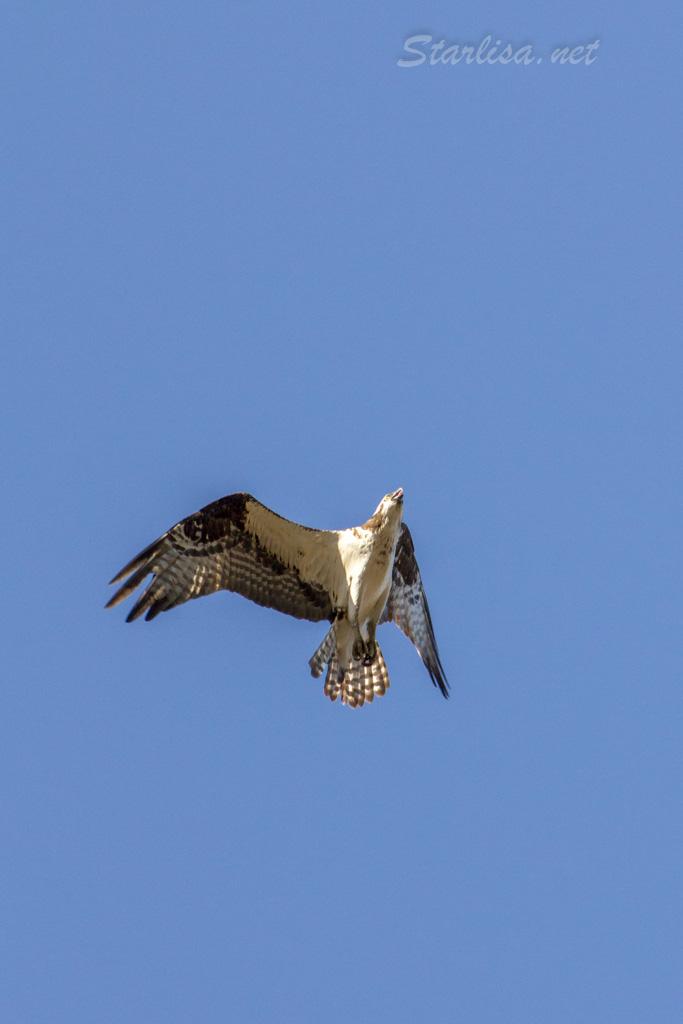 Osprey-with-Nest-8718-9