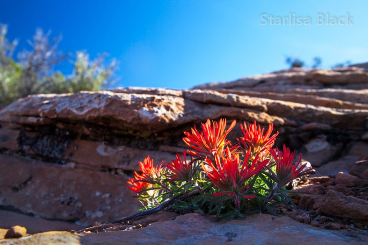 Arches Indian Paintbrush