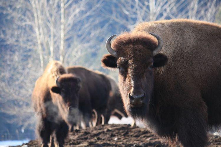 Buffalo_Breath