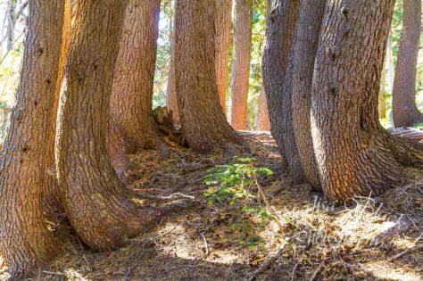 ClimbersTrail_trees_0490