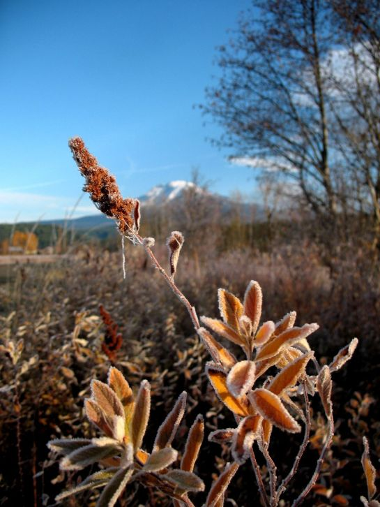 Frosted Leaves and Mount Adams