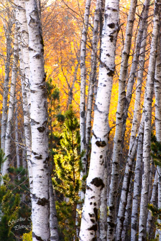 Light through Aspens Conboy National Wildlife Refuge