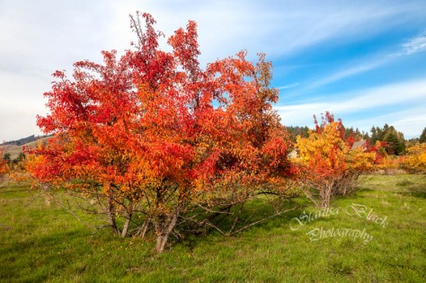 Autumn on wild Fruit Trees in Pucker Huddle near White Salmon on October 15