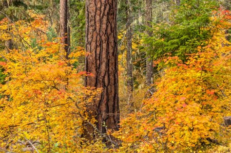 Big old Ponderosa Pine Tree surrounded by colorful Vine Maples along the Forest Rd 23 above Trout Lake