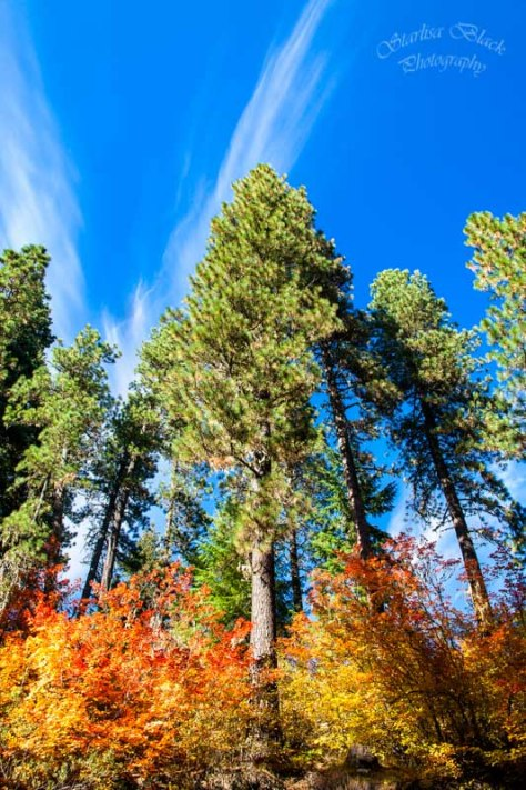 Like giant Missiles emerging from their launch base surrounded by flames, Ponderosa Pines reach for the skies out of a thicket of colorful Vine Maples along forest road 23 out of Trout Lake