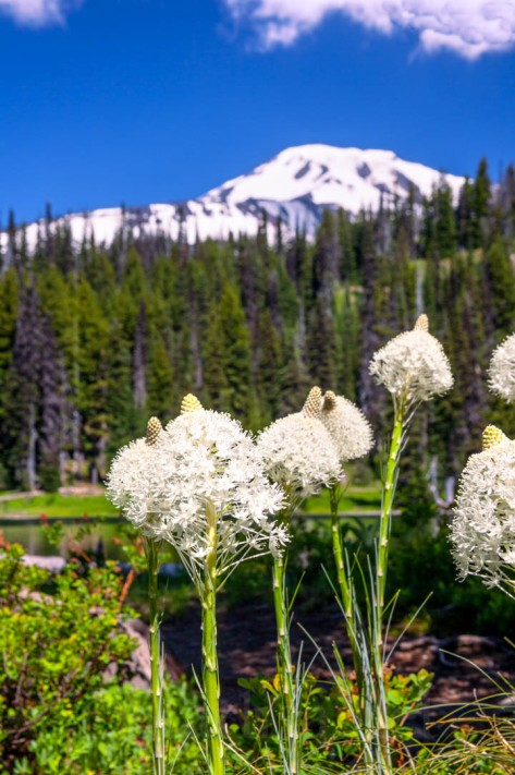 Bear Grass was thick this year around Bird Lake and along the road in, as well as up in the meadows.