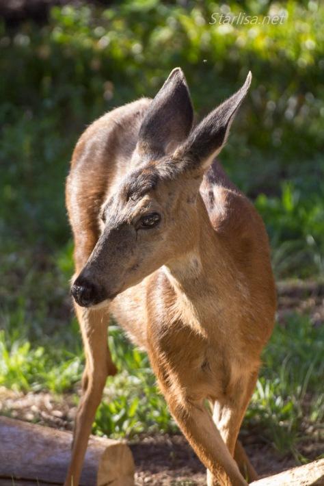 Deer_MirrorLake-2