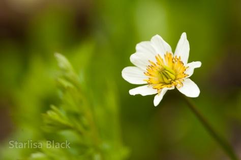 Marsh-Marigold-BC-0413-1