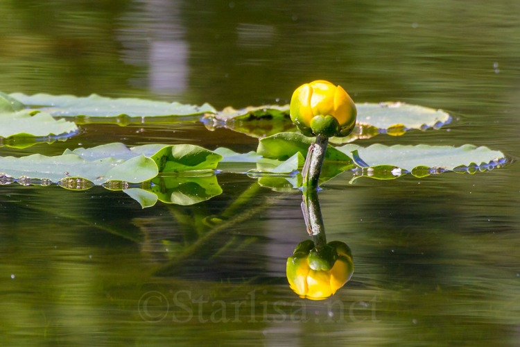 Yellow Water Lily and Damsel fly at Mirror Lake near Mount Adams, July 2013