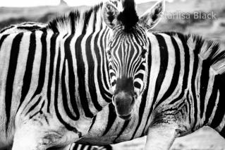 Zebra-fun-5620