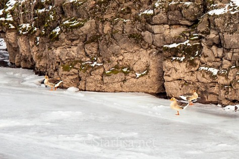 Ducks or Geese out on the ice wondering where their swimming pool went!
