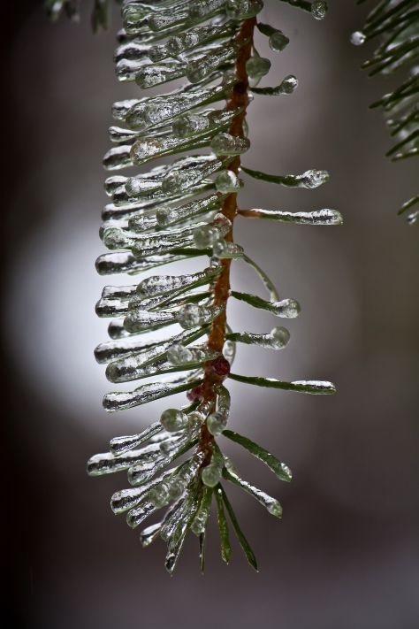 Freezing rain coats every needle on the fir trees one cold January week in 2010